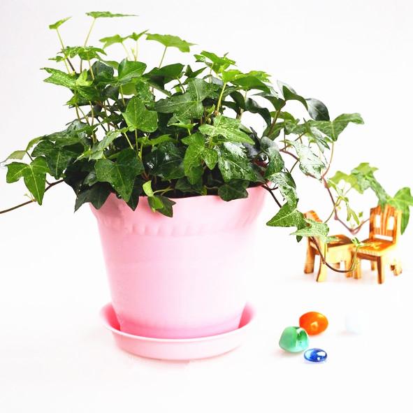 花趣 室内办公室绿植盆栽 青叶 花边常春藤 水培 有氧图片