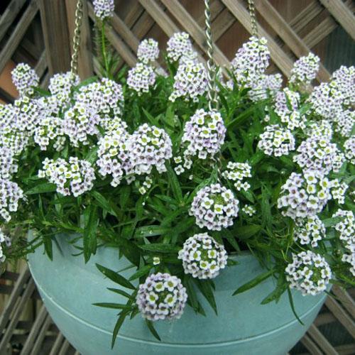 花种子_香雪球种子 紫色白色 净化空气 绿植阳台盆栽花种50粒