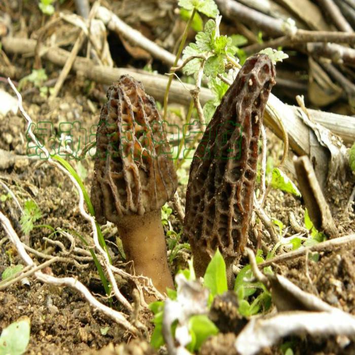 羊肚菌 野生食用菌 包邮 西峡香菇 福建古田香菇源 蘑菇冬菇 花菇