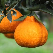丑橘橘子丑柑丑桔水果新鲜柑橘桔子5斤包邮批发不知火 耙耙柑