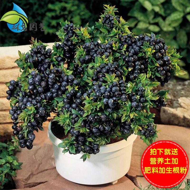 【当年结果】果树苗蓝莓苗蓝莓树苗南方北方种植盆栽地栽水果树苗