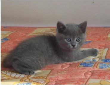 哪里有欧美幼幼资源_纯种赛级俄罗斯蓝猫幼猫 蓝眼短毛俄罗斯猫 单色双色蓝猫宠物猫咪