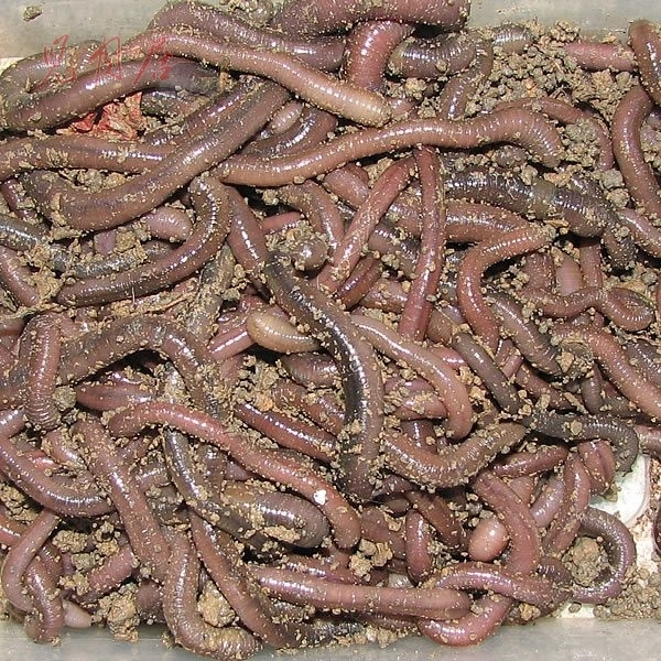 Earthworm pheretima turtle food Chinese medicine live worms for fishing bait