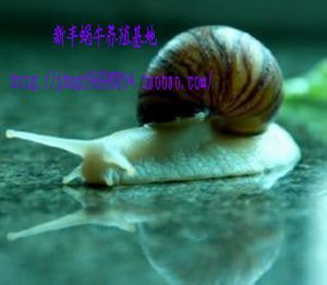 White jade snail per 2, pet snails around 35 g-now in stock, they best selling