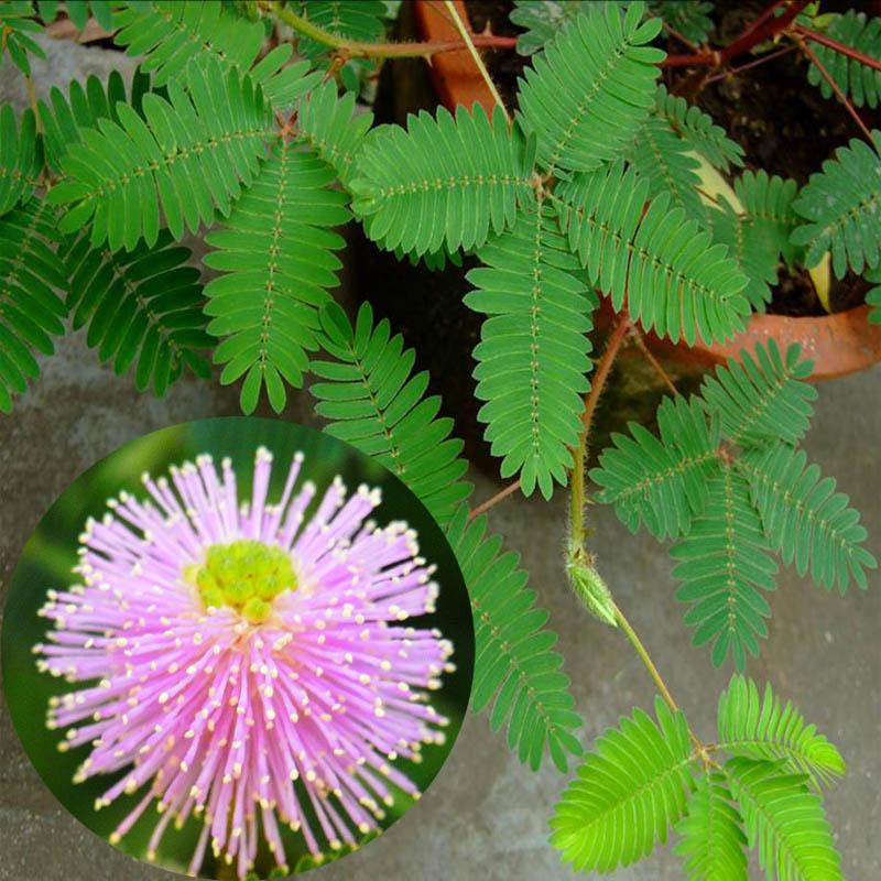 花卉种子香草植物 芳香植物 害羞草 含羞草种子 四季播种图片