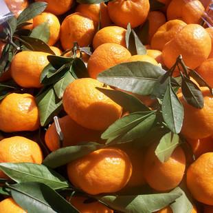 口之津32号橘子苗橘子树苗柑桔树苗柑桔苗日本最新杂柑超级品种