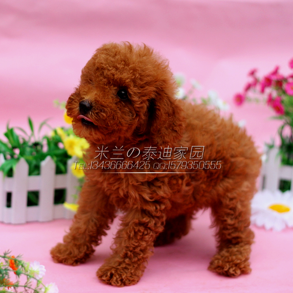 Red Teacup Poodle Puppy Recommend related products