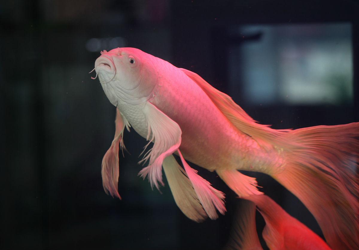最贵龙凤锦鲤鱼图片_最贵的锦鲤鱼图片_最贵-93KB