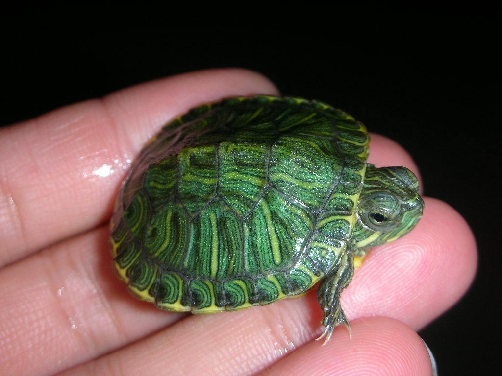 Зеленая черепаха как ухаживать в домашних условиях