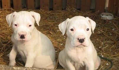 预售 狩猎犬杜高幼犬出售纯种杜高犬幼犬 猛犬阿根廷杜高犬 家养