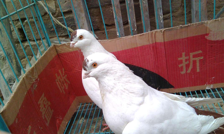 观赏鸽点子图片_w兴旺w