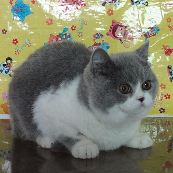 芳芳@名猫个人培育英国短毛猫 蓝猫 蓝白 我的猫咪你做主mao