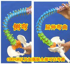 人体脊柱模型11正骨脊椎模型颈椎腰椎人体骨骼模型彩色脊椎模型