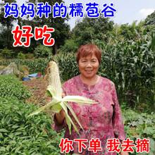 现摘现发2斤本地农家新鲜玉米甜糯玉米棒 糯玉米 白苞谷