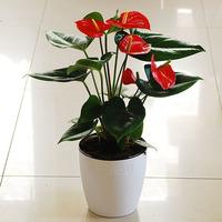 红掌盆栽 绿色植物 净化空气 办公室花卉 健康送礼 鸿运当头绿植