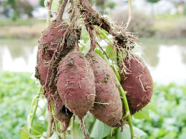 有机番薯 红薯 地瓜 新鲜蔬菜 露天种植 自然栽