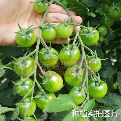 绿精灵樱桃番茄种子  早熟性好 含糖度高 口味突出  菜园大田均可